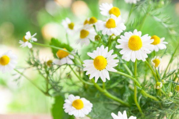 コンブチャ、花粉症、アレルギー